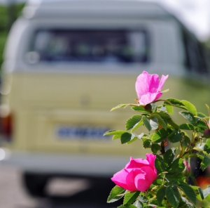 VW camper and rose | Kippford Classic Car HIre